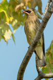 Cedar Waxwing. Juvenile Cedar Waxwing perched on a branch Royalty Free Stock Images