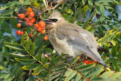 Cedar Waxwing. Juvenile Cedar Waxwing perched in a Mountain Ash tree Stock Photo