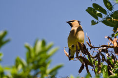 Cedar Waxwing Looking Out Over The Tree Tops Royalty Free Stock Photo