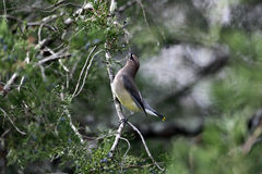 Cedar Waxwing Looking Upward Imagem de Stock