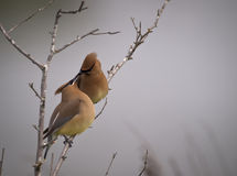 Cedar Waxwing. A male feeding female Cedar Waxwing Stock Photos
