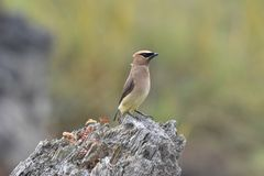 The Cedar Waxwing royalty free stock photography