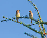 Cedar Waxwing Pair Photos stock