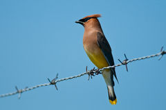 Cedar Waxwing Stock Photography