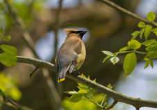 Cedar Waxwing perched on branch. An adult cedar waxwing perched on a branch among green leaves during spring migration,ontario Royalty Free Stock Photo