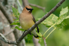 Cedar Waxwing. Perched on a branch Stock Photo