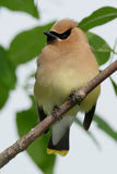Cedar Waxwing. Perched on a branch Royalty Free Stock Photos