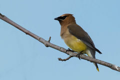Cedar Waxwing. Perched on a branch Stock Photos