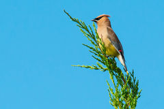 Cedar Waxwing. Perched on a branch Stock Images