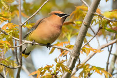 Cedar Waxwing. Perched on a branch Royalty Free Stock Photography