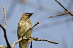 Cedar Waxwing Perched on a Branch in a Tree Royalty Free Stock Photos
