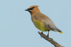 Cedar Waxwing. Perched on a dead branch Stock Photo