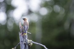 Cedar Waxwing perched on a dead tree over a marsh stock photo
