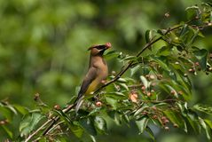 A Cedar Waxwing perched in a Serviceberry tree stock images