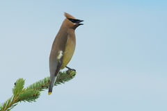 Cedar Waxwing. Perched on a spruce branch singing Stock Images