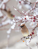 Cedar Waxwing. A cedar waxwing perched in a tree Royalty Free Stock Photo