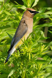 Cedar Waxwing. Perched in a tree Royalty Free Stock Photo