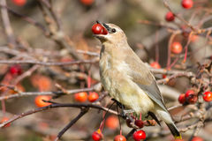 Cedar Waxwing. Perched in a tree eating a red berry Stock Photos