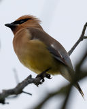 Cedar Waxwing perches on a tree Royalty Free Stock Photography