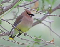 Cedar Waxwing Portrait. A portrait of a Cedar Waxwing (Bombycilla cedrorum) sitting in a tree.  Shot in Waterloo, Ontario, Canada Stock Image