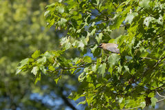 Cedar Waxwing Preparing to Take Off royalty free stock photography