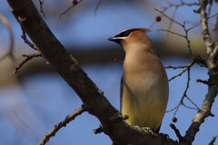 Ceder Waxwing on tree branch Royalty Free Stock Photos
