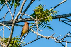 Cedar Waxwing Resting on a Tree Branch Royalty Free Stock Image