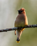 Cedar Waxwing at Shirleys Bay, Ottawa, Ontario Royalty Free Stock Image