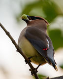 Cedar Waxwing at Shirleys Bay, Ottawa, Ontario Stock Photos