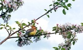Cedar waxwing singing in the spring. A beautiful Cedar Waxwing singing in an apple tree surrounded by blossoms in the Spring Stock Photo