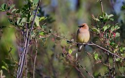 A Cedar Waxwing sitting on a branch royalty free stock image