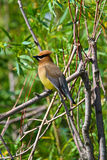 A Cedar Waxwing sitting in a tree.  Stock Image