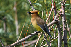 A Cedar Waxwing sitting in a tree.  Stock Images