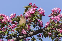 Cedar Waxwing in spring Royalty Free Stock Photography