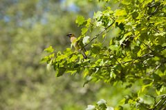 Cedar Waxwing in the Sun Perching Royalty Free Stock Photo
