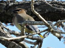 Cedar Waxwing in Tennessee watching for berries. Gray yellow red spot perched on tree limb Stock Image