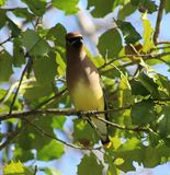Cedar Waxwing tennessee watching a berries Stock Photography