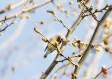 Cedar Waxwing in in Tree Stock Photos