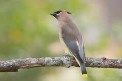 Cedar Waxwing on Tree Branch Royalty Free Stock Photos