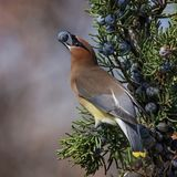 Cedar waxwing in a tree eating a juniper berry Stock Images