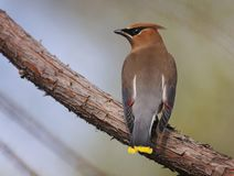 A cedar waxwing in a tree. During a hot summer day outside royalty free stock photo