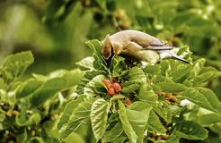 Cedar Waxwing. S would come every year to eat the berries behind my home Royalty Free Stock Photos