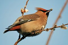 Cedar waxwing with the willow buds. Stock Photos