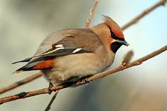 Cedar waxwing with the willow buds. stock image