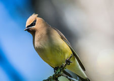 Cedar Waxwing & x28;Bombycilla Cedrorum& x29; perched on branch looking down Stock Photography