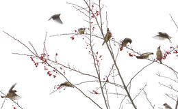 Cedar Waxwings in Berry Tree Royalty-vrije Stock Afbeelding