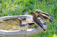 Cedar Waxwings on Birdbath Royalty Free Stock Image