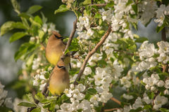 Cedar Waxwings Royalty Free Stock Photo