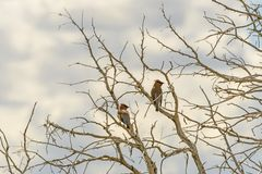 Cedar Waxwings em uma árvore velha Imagem de Stock Royalty Free