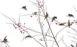 Cedar Waxwings i Berry Tree Royaltyfri Bild